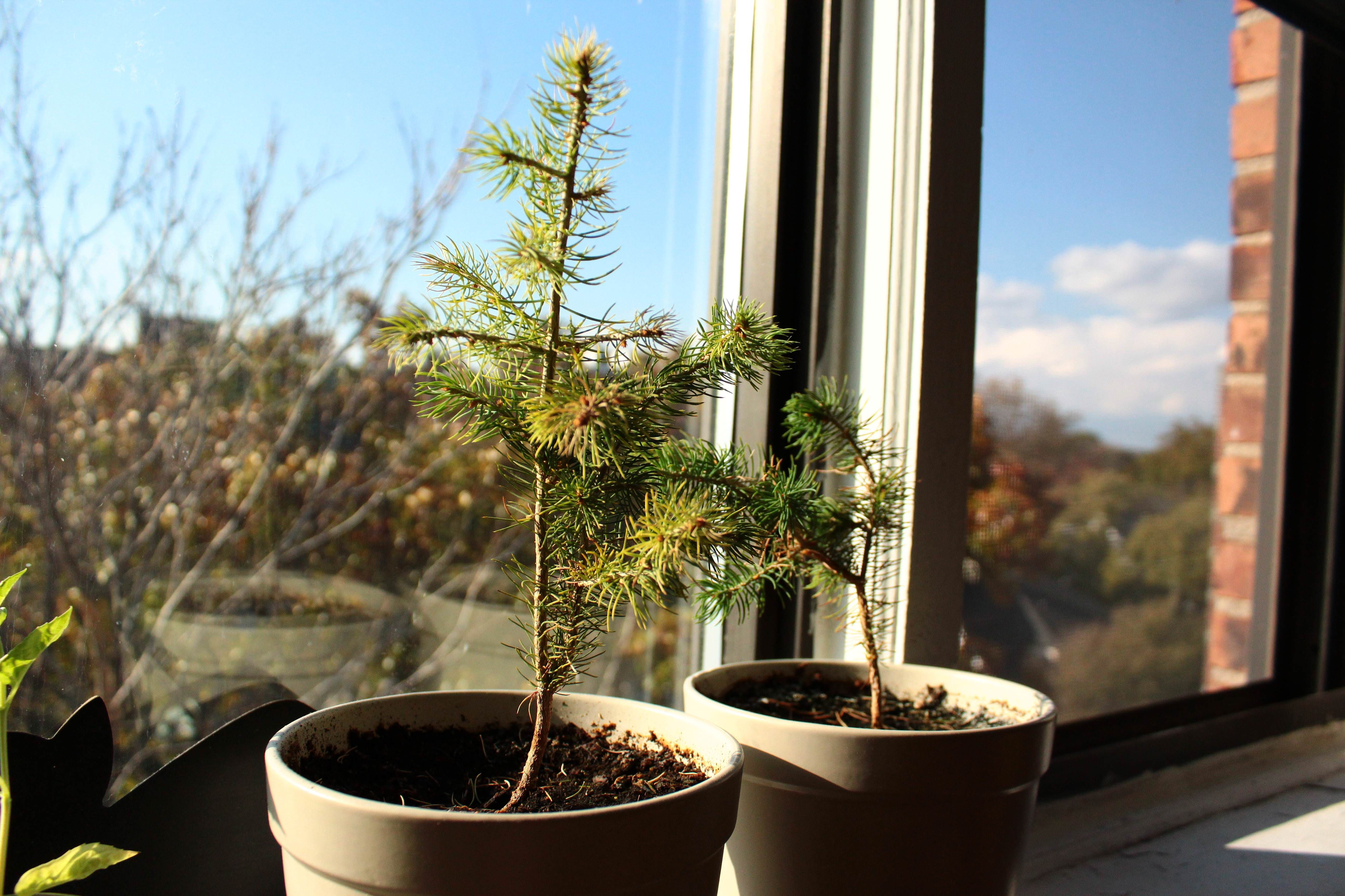 Nyc Indoor Conifer Tree But Unsure Of Which
