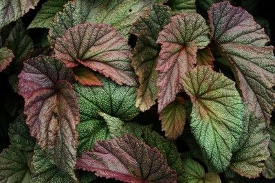 Angel Wing Begonia Care How To Grow An Angel Wing Begonia