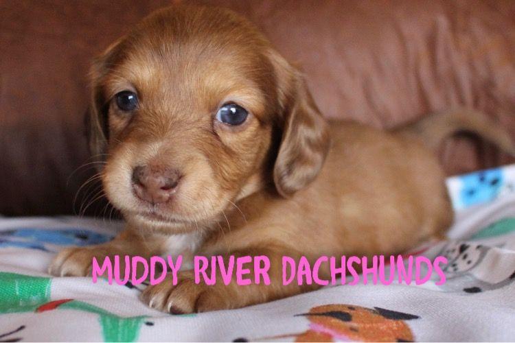 Miniature Dachshund Puppy Chocolate Dapple At Muddy River Dachshunds Dachshund Puppy Miniature Dachshund Puppies For Sale Dachshund Puppies