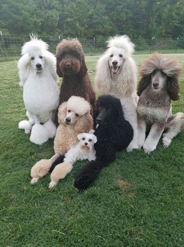 10 Interesting Facts And Information About Poodle Dog Breeds Puppy Love Pudel Welpen Welpenzucht Hunde