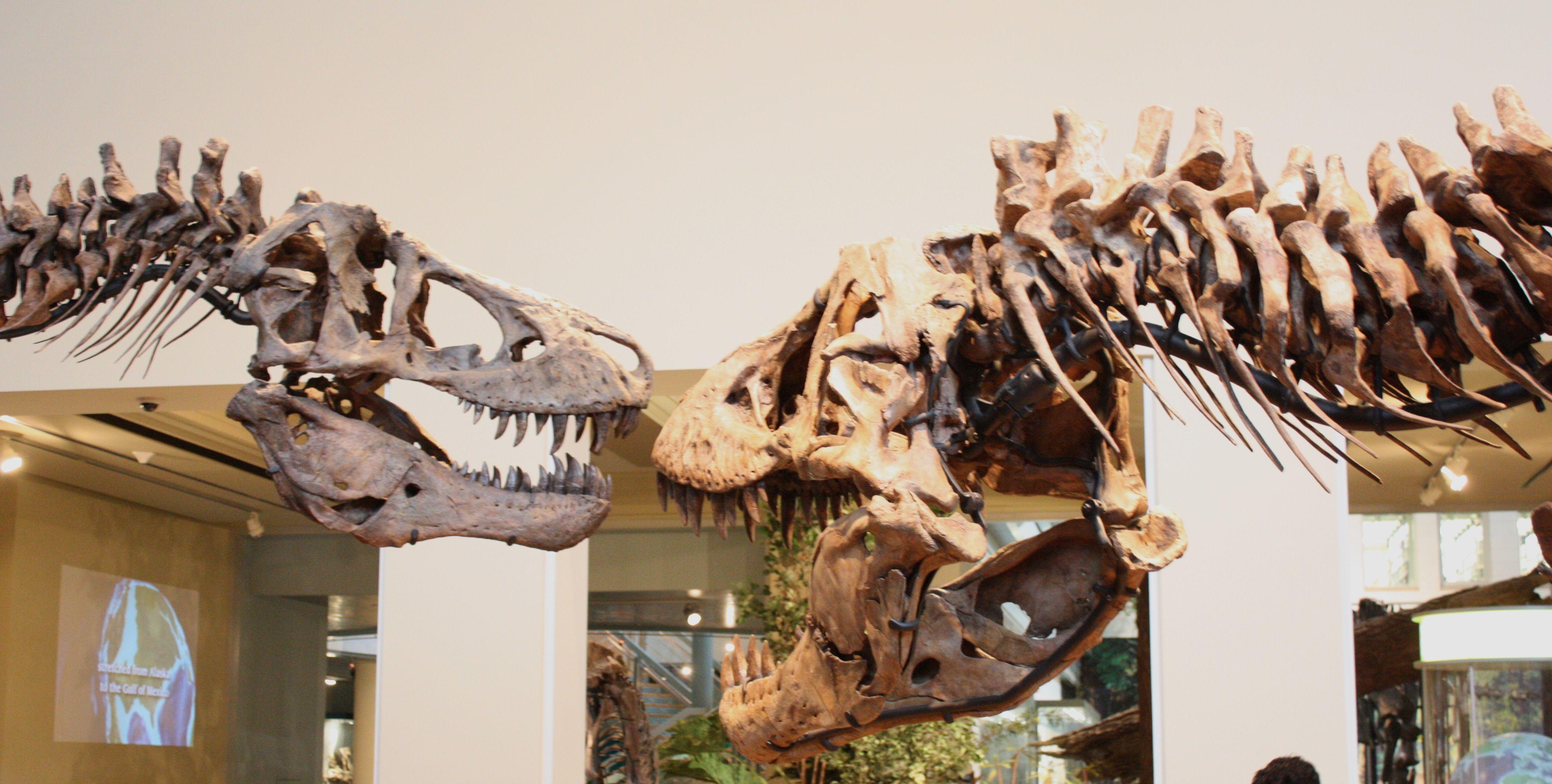 Carnegie Tyrannosaurus pt 2: a second adult rex  http://archosaurmusings.files.wordpress.com/2011/11/img_6966.jpg