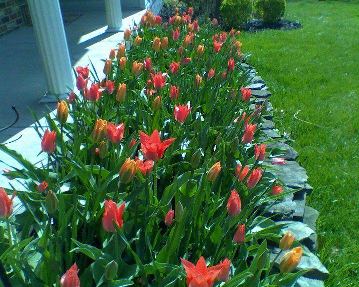 Orange Emperor Tulips | Gardening | Pinterest | Emperor and Gardens