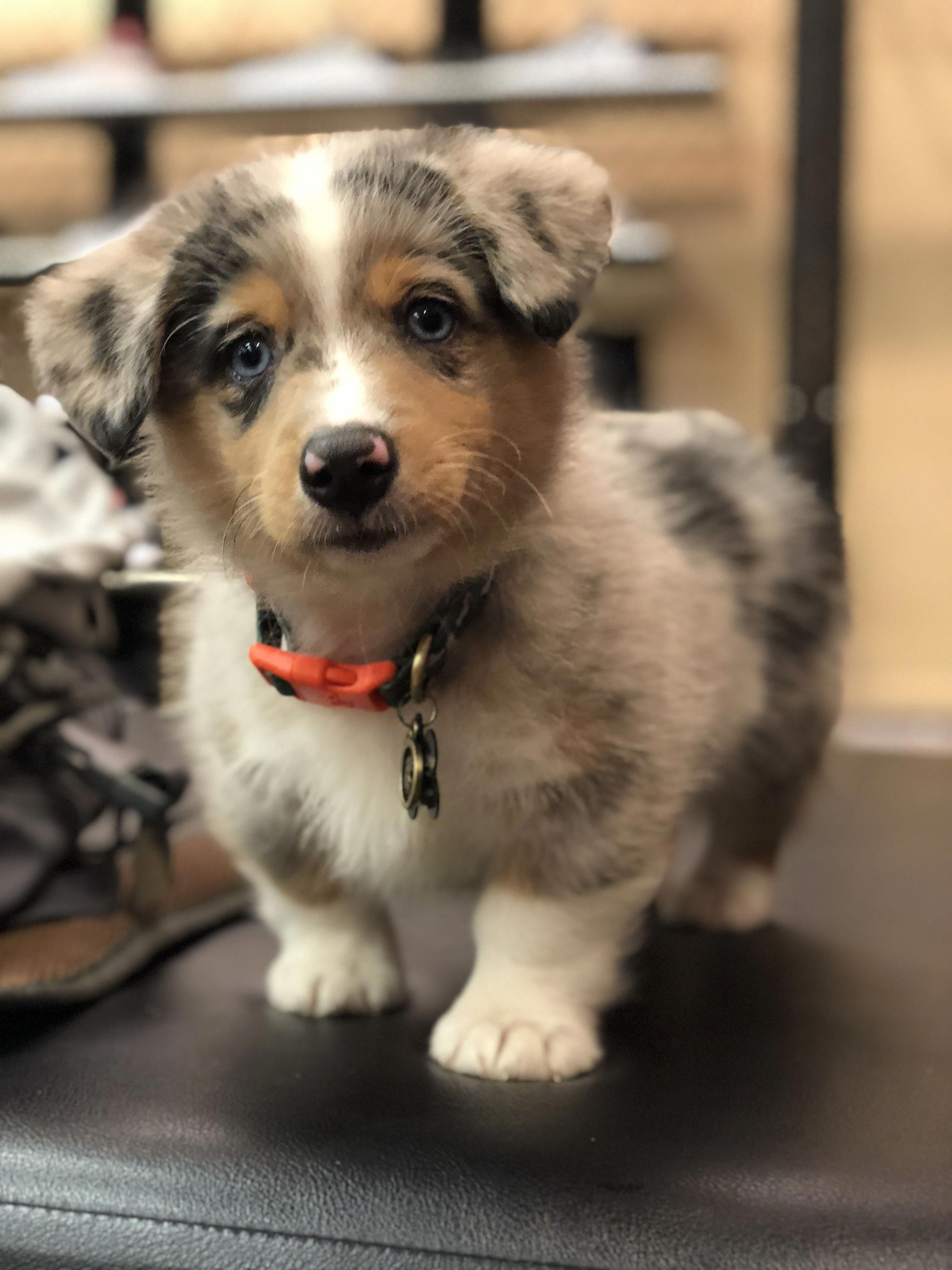 Samsonthecorgi Sosa Pembroke Welsh Corgi And Australian Shepherd