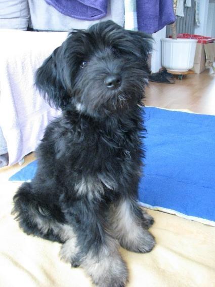 Tibet Terrier Baghira Tibet terrier, Hunde
