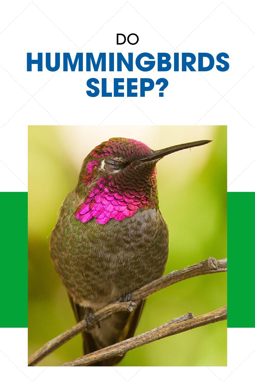 Do Hummingbirds Sleep If So How Natural Sleep Hummingbird Bird Species