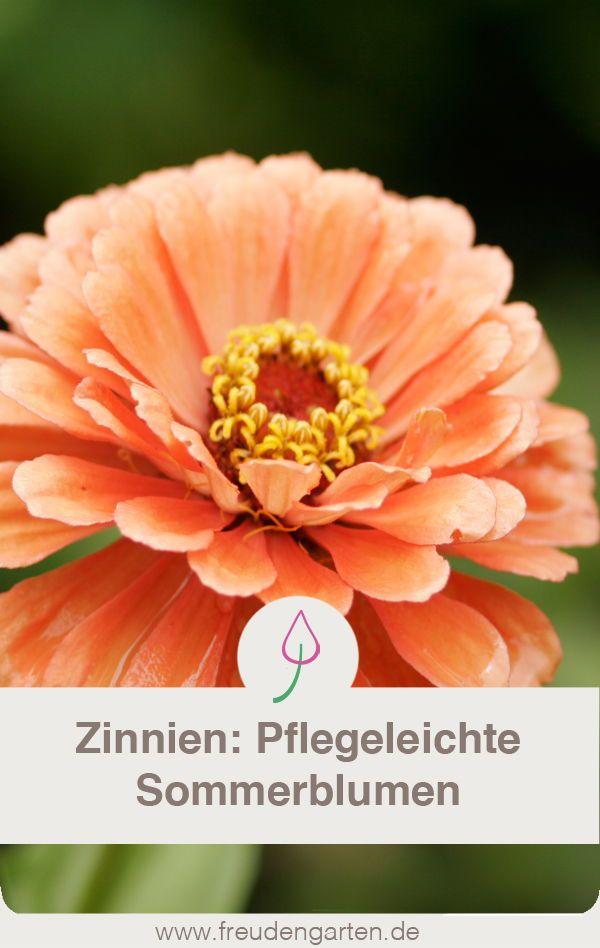 Pflegeleichte zinnien f r den garten pflanzen pflegen for Garten pflanzen blumen