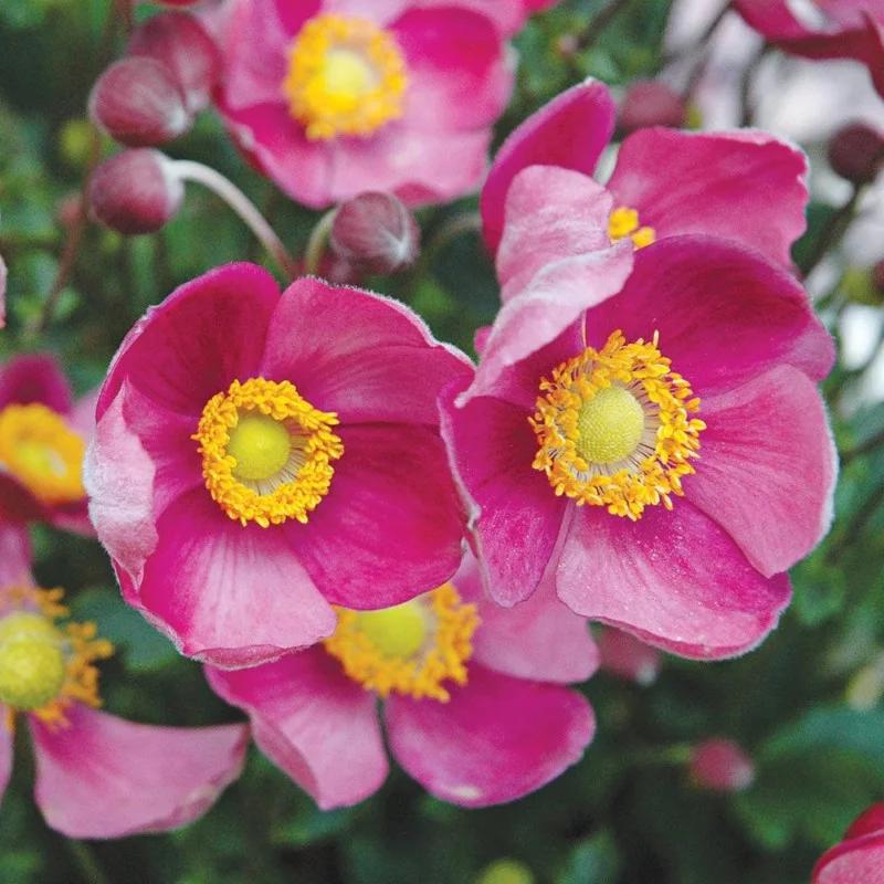 ANEMONE 'PRETTY LADY DIANA' 3QT | Johnson's Florist an in 2020 | White  flower farm, Flowers perennials, Flower seeds