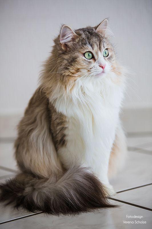 Wunderschone Sibirische Katze Beautyfull Sibirian Cat Sibirische Katze Katzen Katzen Rassen