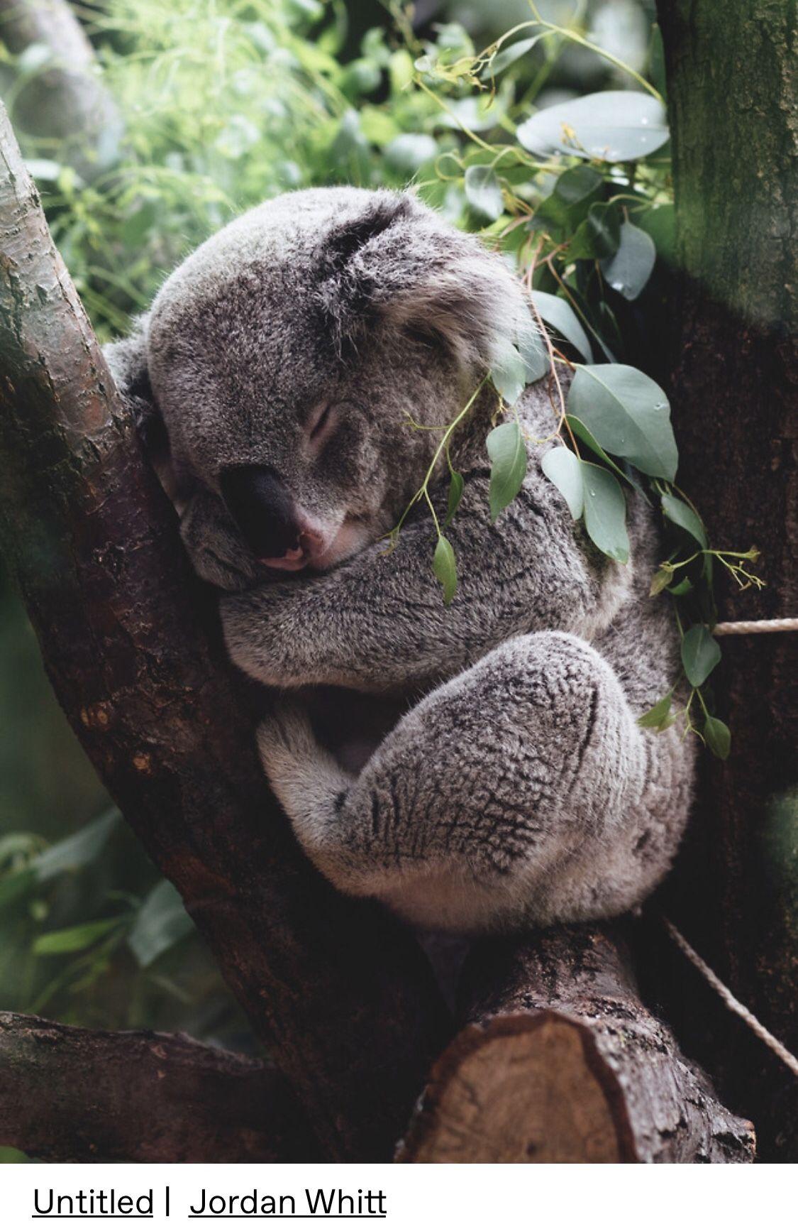 Pin By Khadidja Aiss On Animales Koala Bear Koala Koalas