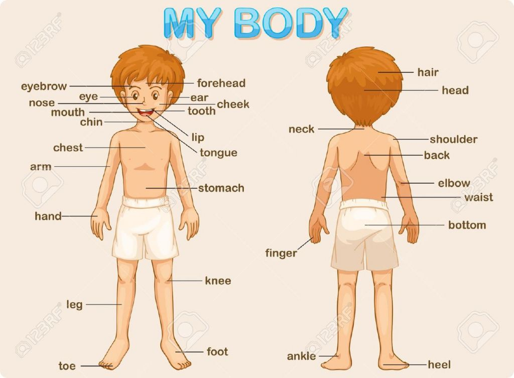 Human Body Parts Poster For Kids Illustration Poster Of The Parts Of
