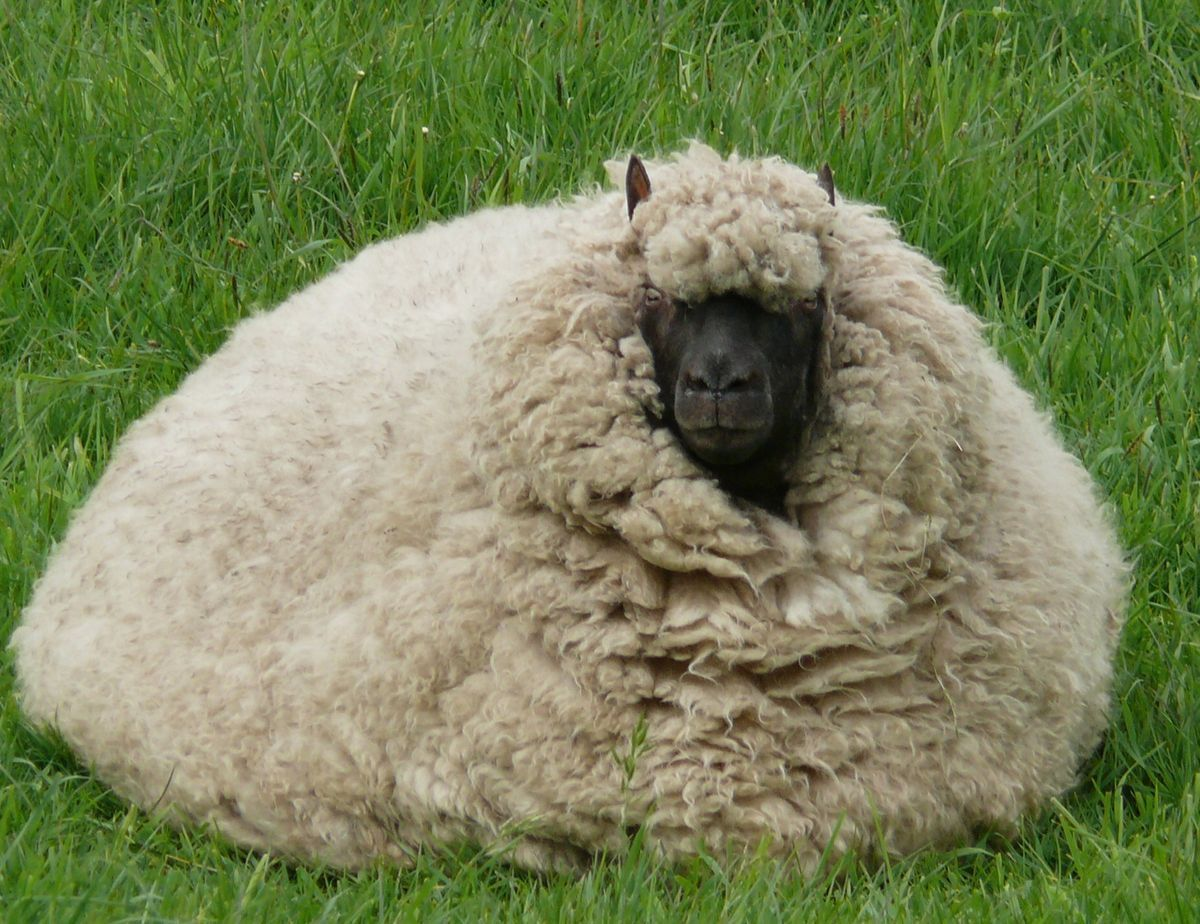 New Breed Of Sheep The Macaroon With Images Sheep Breeds Sheep Animals Beautiful