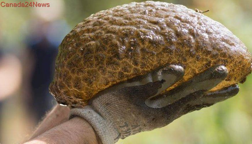 Meet the Creature from Lost Lagoon: Large 'blob' colony found in Stanley Park