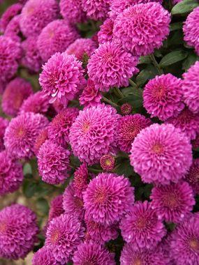 Mum Small Wonder Bluestone Perennials Mums Flowers Flowers Perennials Perennials