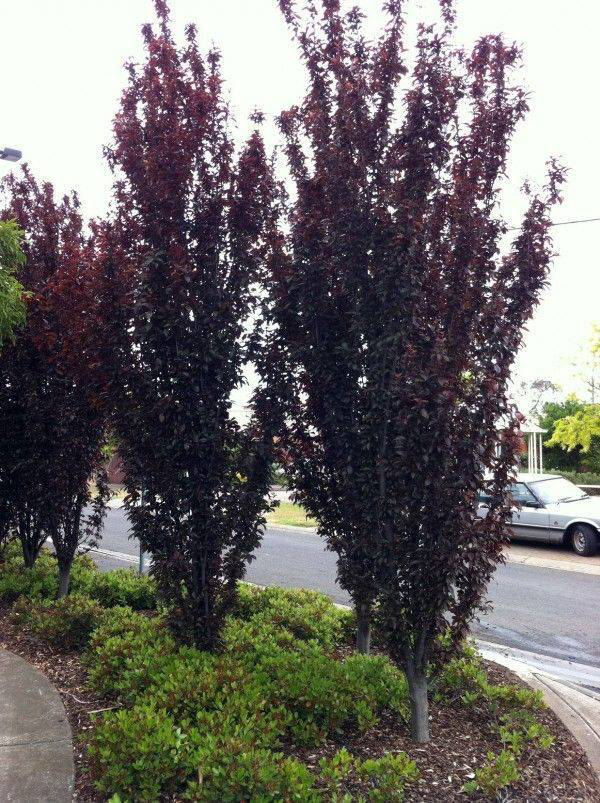 Narrow Trees for Small Yards that Pack a Punch | Pretty Purple Door