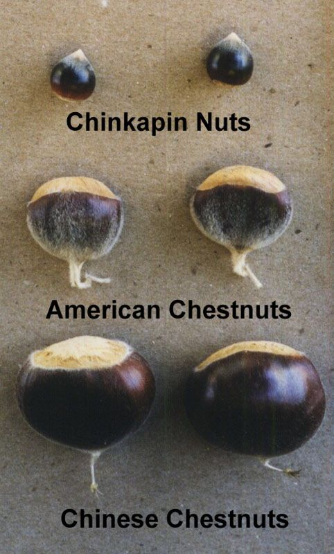 American Chestnut Nut