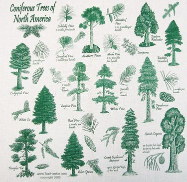 He Properly Defined The 14 Types Of Evergreen Trees And Did This Over 5 000