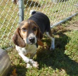 Adopt Nora Adopted On Beagle Dog Adoptable Beagle Basset Hound Mix