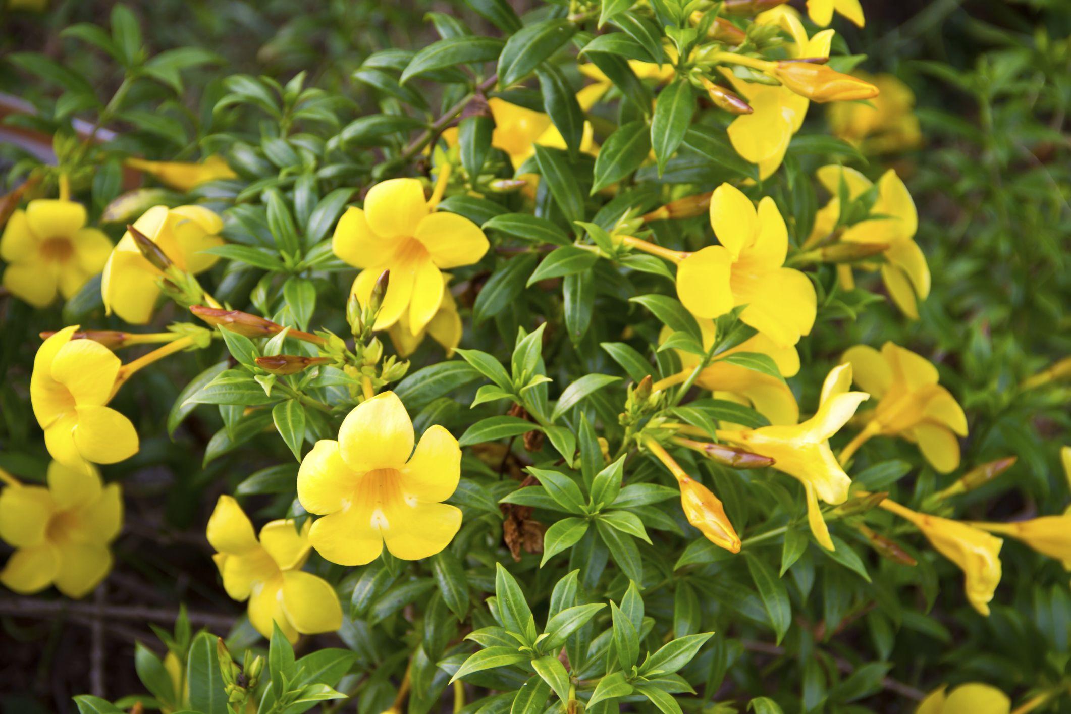 Description of the yellow bell flower flower plants and shrub description of the yellow bell flower hunker mightylinksfo