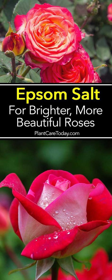 How To Use Epsom Salt For Brighter, More Beautiful Roses is part of Epsom salt for roses, Planting roses, Growing roses, Rose care, Flower garden, Garden plants - Epsom salt has long been a rose growers best friend and an excellent supplement! Learn how you grow happy, healthy and beautiful roses by using simple, inexpensive Epsom salts