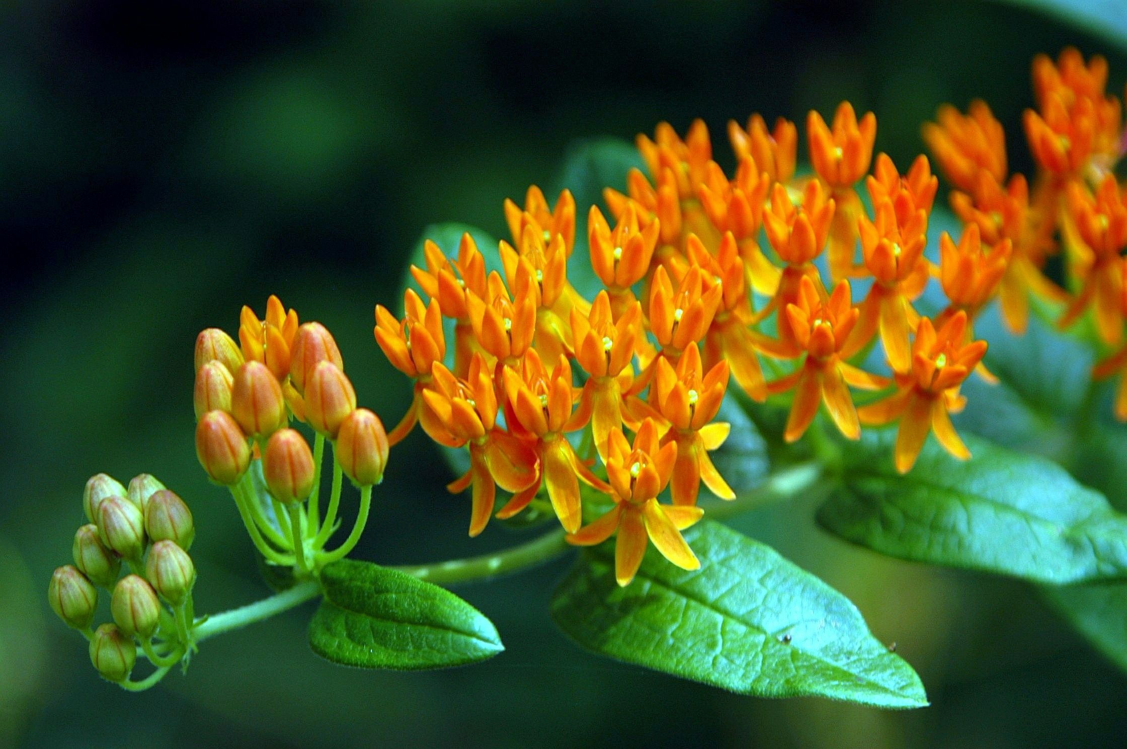 Nc Plants Butterfly Weed Tatts Pinterest Butterfly Weed