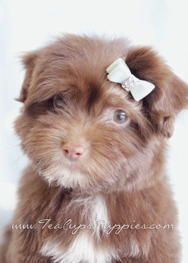 Havanese For Sale Havanese Puppies For Sale In South Florida Havanese Puppies Dengan Gambar