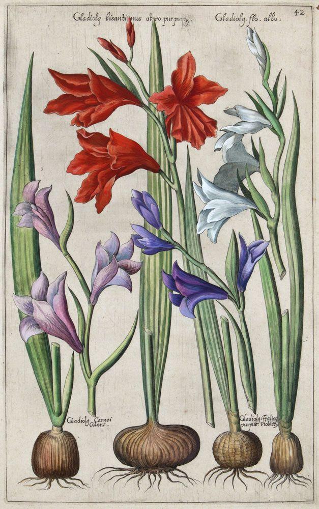 """Gladiolg bisantinus by Emanuel Sweert from """"Florilegium Amplissimum et Selectissimum"""", Frankfurt-am-Main, 1612."""