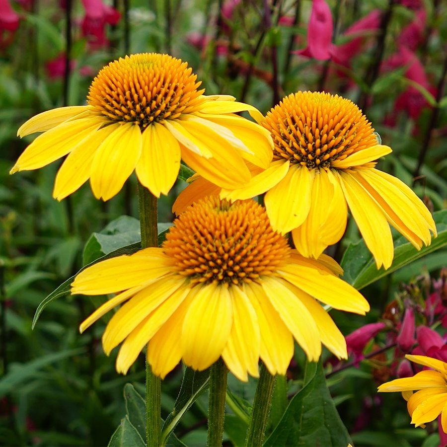 14 Colorful Coneflowers To Brighten Your Summer Garden Finding Sea Turtles Echinacea Easy Care Plants Plants