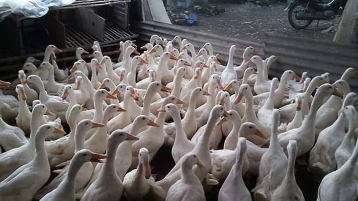 Beternak Bebek Peking