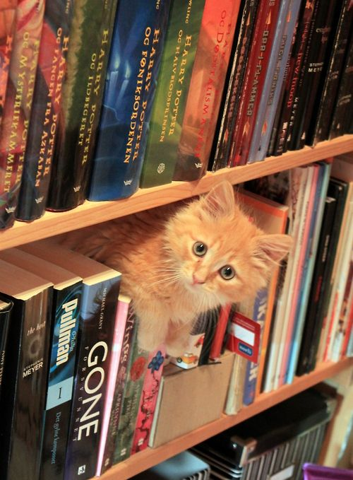 Bookstore cat asks Can I help you find a book? Cats and