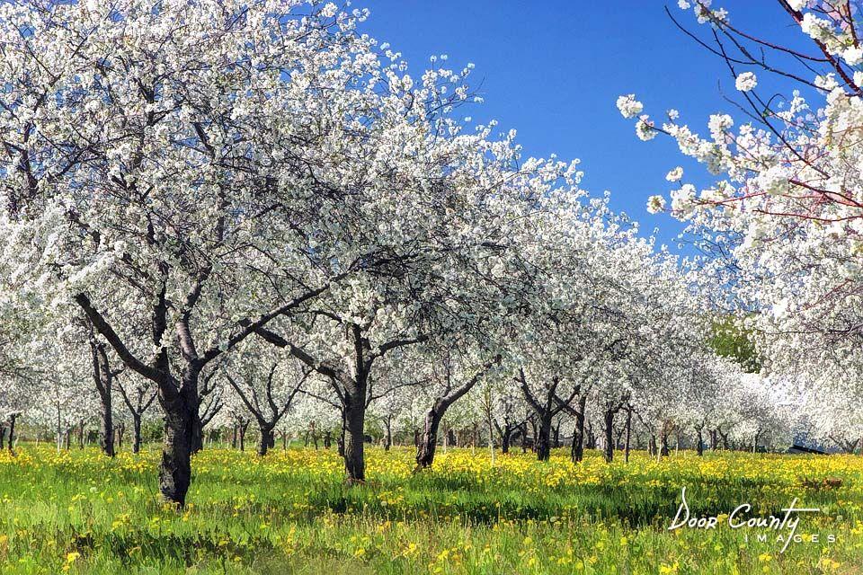 Door County Cherry Blossoms Art Print By Christopher Arndt