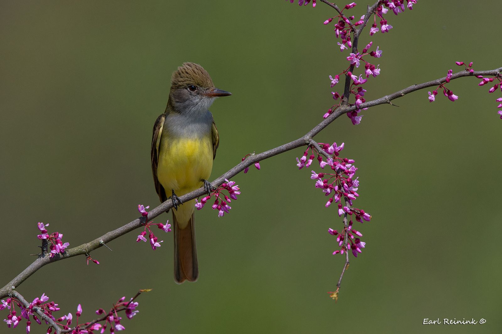 https://flic.kr/p/WUahiR   Great-crested Flycatcher   Today's theme: Birds on Redbud perch.. Yes, the colors clash..oh well..