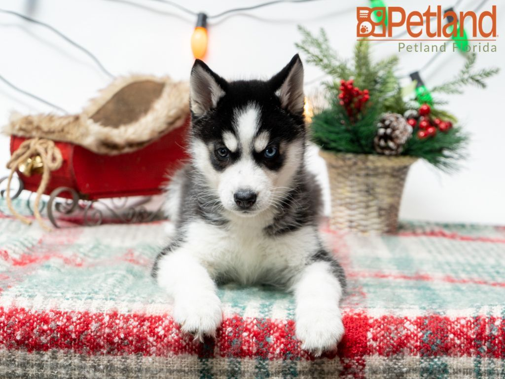 Puppies For Sale Husky puppies for sale, Siberian husky