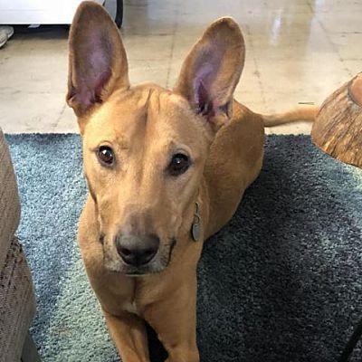 Dallas, TX - Pharaoh Hound. Meet Sunshine (Sunny) a Dog ...