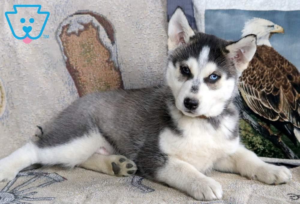 Joker Siberian Husky Puppy For Sale Keystone Puppies Husky Puppies For Sale Husky Puppy Puppies