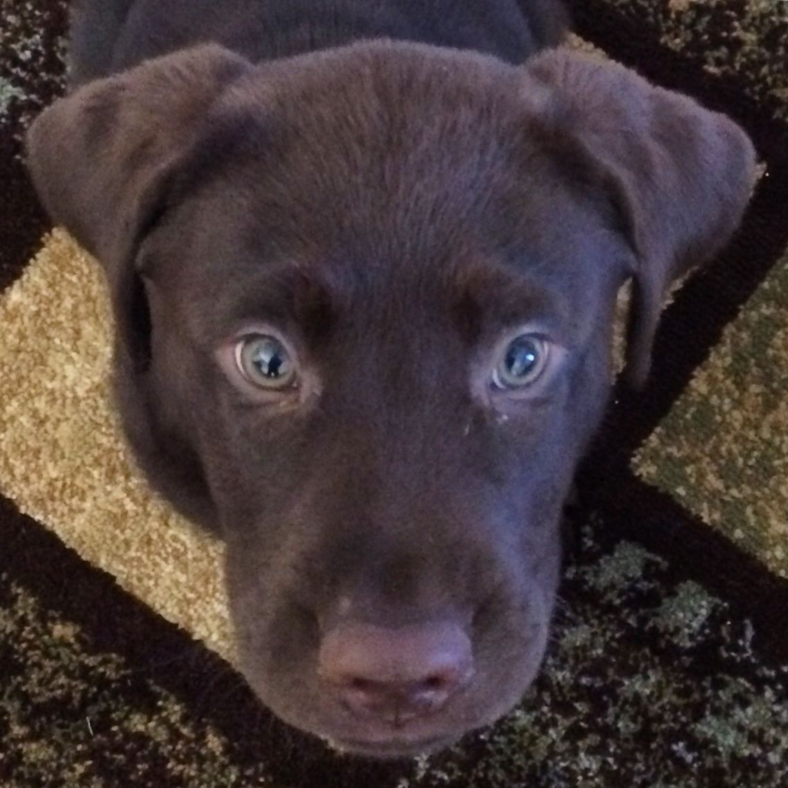 Jaxon puppy eyes. Chocolate Labrador.