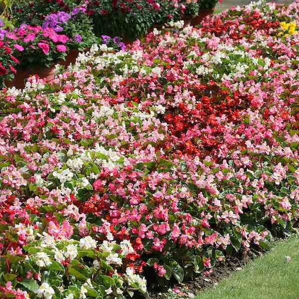 Heat Elite Mix Begonias With Pink Rose Scarlet And White Flowers 50 Pelleted Seeds 2 49 Dry Shade Plants Begonia Annual Flowers