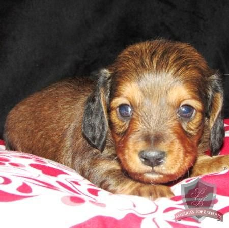 I'm in love! Dachshund puppy Hunter Dog food recipes