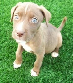 8 Week Old Australian Shepherd Lab Mix Puppy With Green Eyes