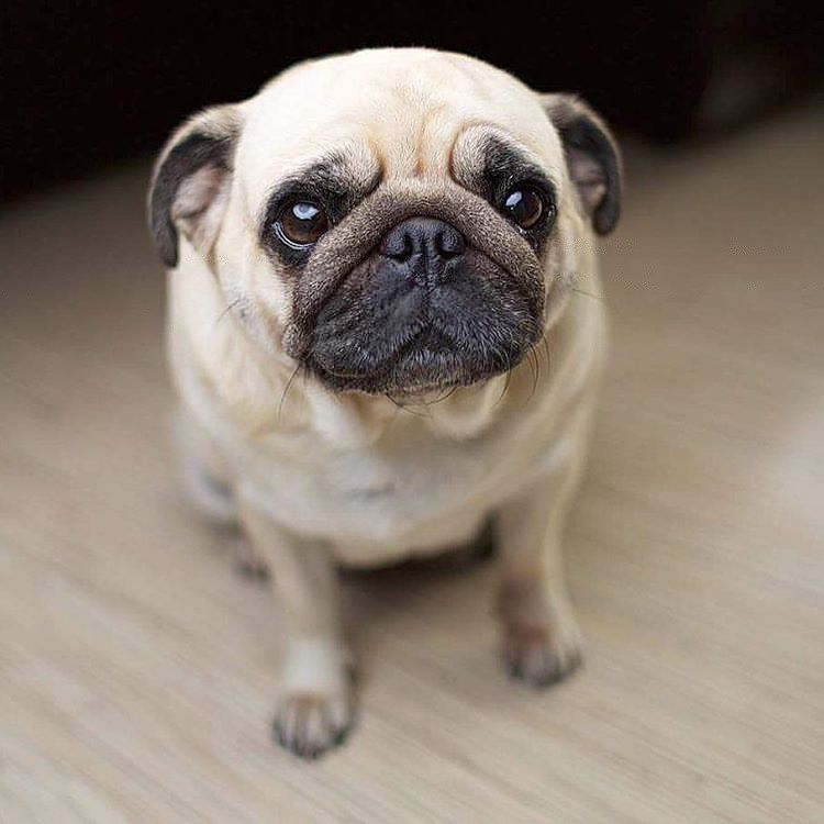 How Much Do You Love Pugs On A Scale 1 To 10 Pugdaily Pugs