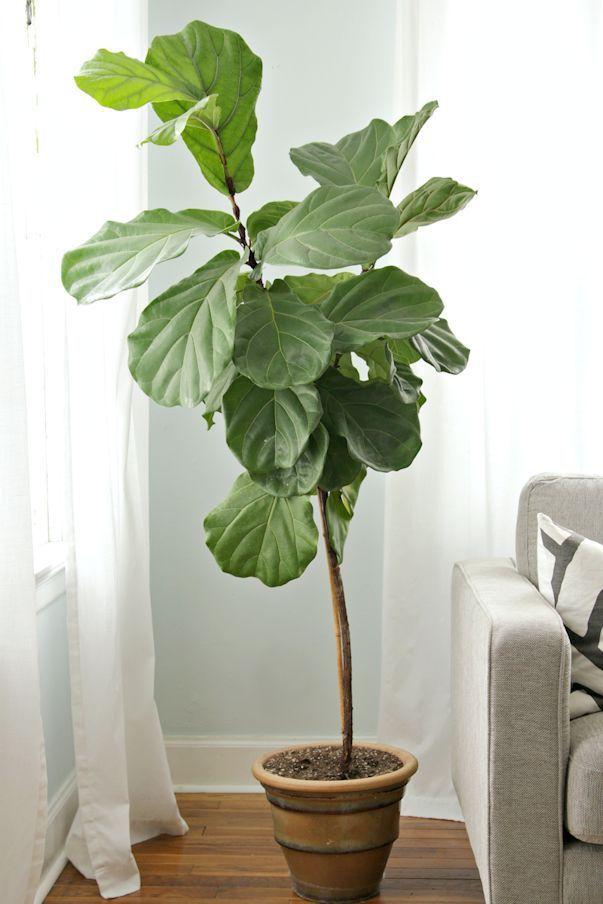 plantas de interior ficus lyrata o ficus pandurata 6 indoor treesindoor plantspotted