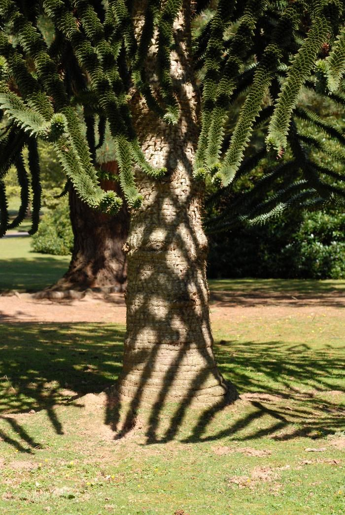 The Monkey Puzzle Tree has leaves with Fibonacci, a kind of mathematical spiral pattern, so that every part of the branch captures the maximum amount of daylight.