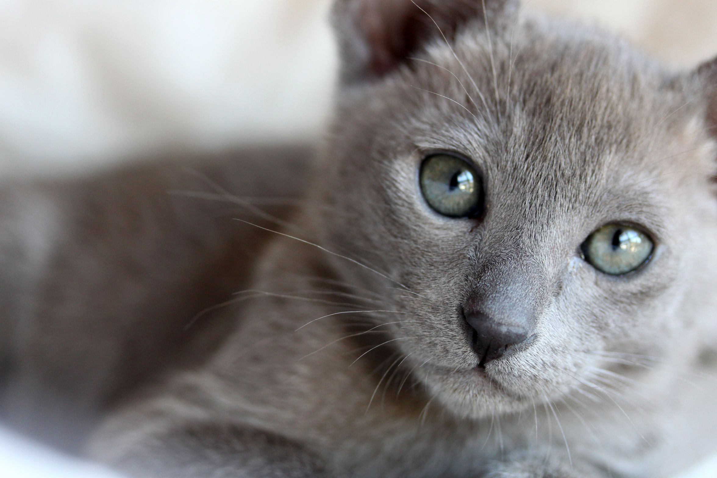 One Of The Images That Have Always Stuck With Me From Paris Was A Cat Just Like This Sitting On The Windowsill Of An Apartment Besi Burmese Cat Cat Breeds Cats