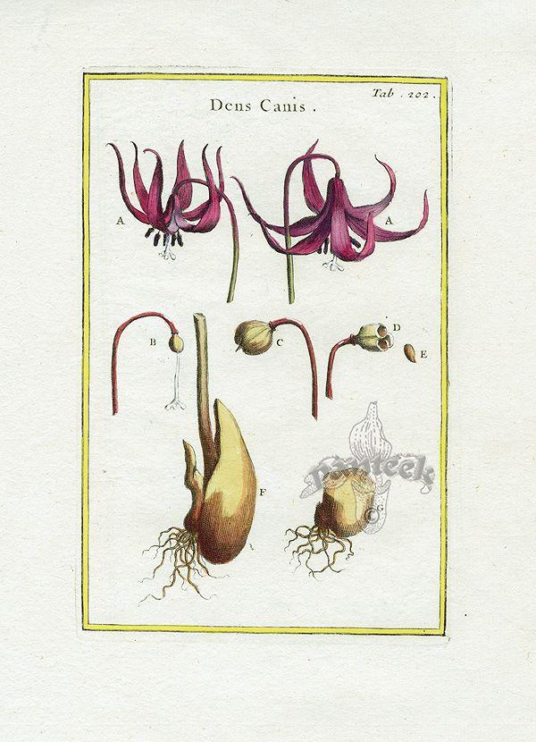 Rei Herbariae Botanical Prints 1703