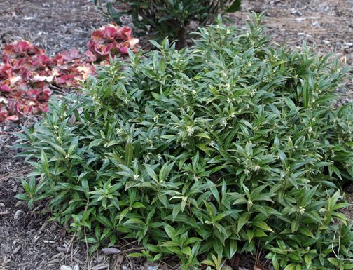 Sarcococca Iana Var Humilis Sweet Box Cold Hardy To Sunset Zone 2 And Grows 18 Inches High Intensely Fragrant Smells Like Oven Warm Fresh