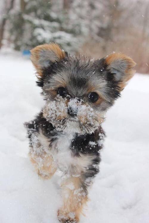 Black And White Yorkie Puppy Yorkshire Terrier Puppies Yorkie
