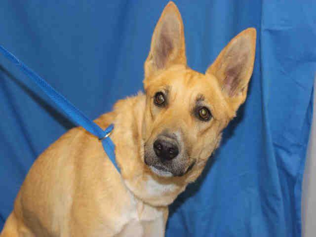 Joanie German Shepherd Dog Mix Young Female Large Pima