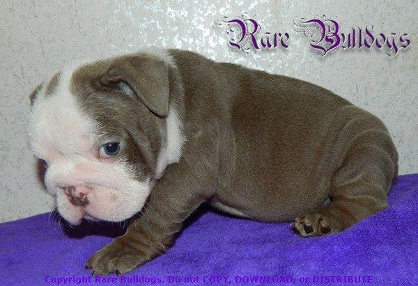Girl Akc English Bulldog Dbl Atat Lilac Seal Nickname Lablanc