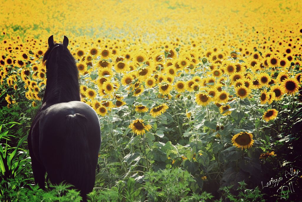 Friesian stallion Keegan J. overlooking a sunflower field.  Keegan is owned by Emily Jewell of Grace and Beauty Farms in Indiana.  Photo by me, Larissa Allen.