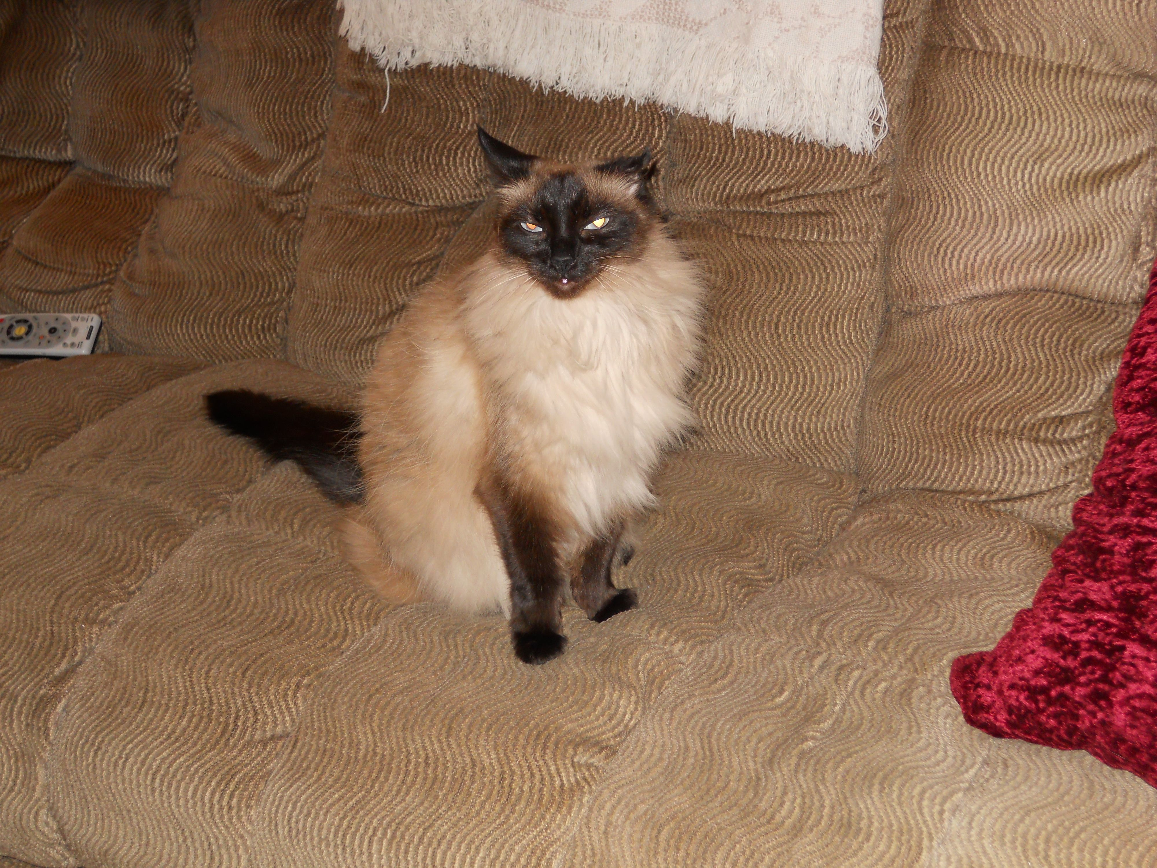 Evie One Of My Cats I Think She S Balinese But We Adopted Her Cute Cats Balinese Cat Cats