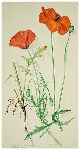Botanical poppy flower drawing margaret dickinson gallery the botanical poppy flower drawing margaret dickinson gallery the natural history society mightylinksfo